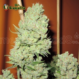 Semillas CHANNEL+ Medical Seeds.