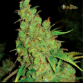 Semillas 1024 Medical Seeds.