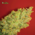 Semillas JACK LA MOTA Medical Seeds.