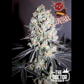 Semillas CRITICAL SPECIAL The Doctor Seeds.