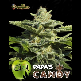 Semillas PAPA'S CANDY Eva Seeds.