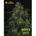 Semillas BLACKVALLEY Ripper Seeds.