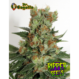 Semillas FUEL OG Ripper Seeds.