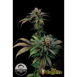 Semillas BLUE WIDOW Dinafem.