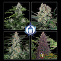 Semillas ASSORTED AUTO Buddha Seeds.