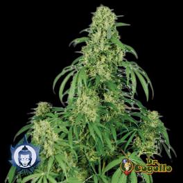 Semillas CALAMITY JANE (Auto) Buddha Seeds.