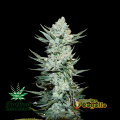 Semillas TANGIE´MATIC Fast Buds.