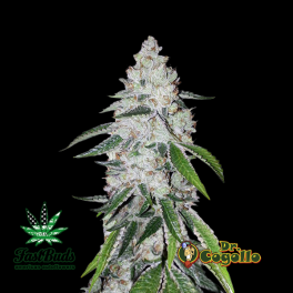 Semillas WEST COAST O.G. Fast Buds.