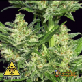 Semillas AUTO CHINGON Biohazard Seeds.