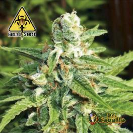 Semillas AUTO KRATOS Biohazard Seeds.