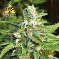 Semillas AUTO KRATOS Biohazard Seeds.