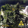 Semillas AUTO POWER Biohazard Seeds.