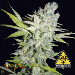 Semillas CRIMINAL JACK Biohazard Seeds.