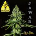 Semillas JAWAR Biohazard Seeds.
