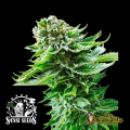 Semillas NORTHERN LIGHTS AUTO Sensi Seeds.