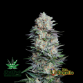 Semillas MEXICAN AIRLINES Fast Buds.