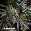 Semillas AUTO BLUE PYRAMID Pyramid Seeds.
