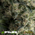 Semillas AUTO GALAXY Pyramid Seeds.
