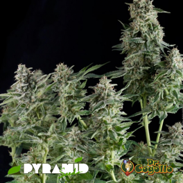 Semillas AUTO NORTHERN LIGHTS Pyramid Seeds.