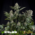 Semillas AUTO WHITE WIDOW Pyramid Seeds.