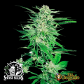 Semillas BIG BUD Sensi Seeds.