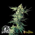 Semillas NORTHERN LIGHTS Sensi Seeds.