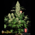 Semillas AK-47 Serious Seeds.