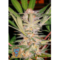 Semillas S.A.D. S1 Sweet Seeds.