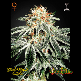 Semillas WHITE WIDOW Green House.