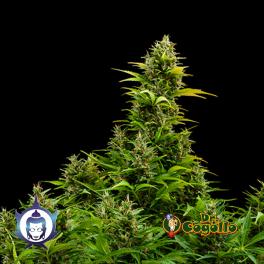 Semillas MEDIKIT (Auto) CBD Buddha Seeds.
