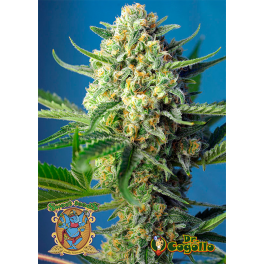 Semillas AUTO S.A.D. SWEET AFGANI DELICIOUS Sweet Seeds.